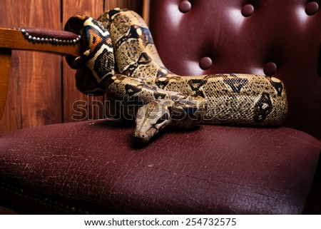 Scary and dangerous snake sitting. snake king on the throne - stock photo