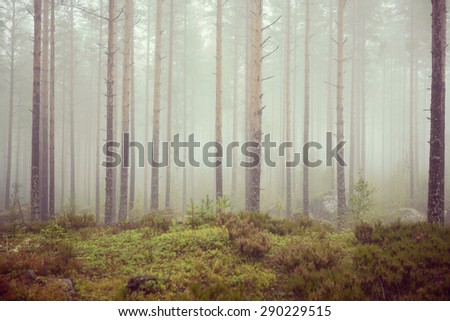 Scary and misty pine forest in the autumn time. Image has a vintage effect to create some artistic impression.  - stock photo