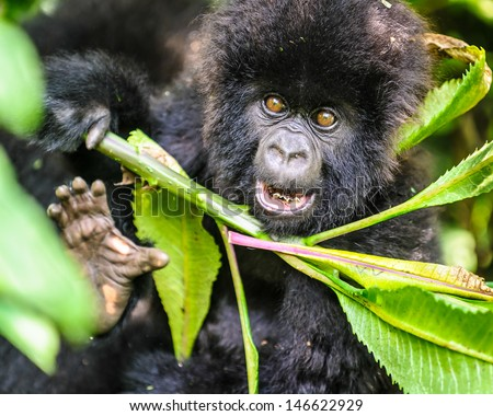 Scary Gorilla from Ruanda behind the leaves - stock photo