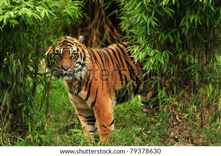 Scary looking male royal bengal tiger staring towards the camera from inside the jungle - stock photo
