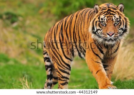 Scary looking male sumatran tiger coming straight towards you - stock photo