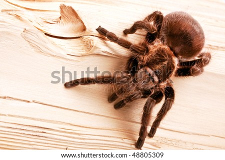 Scary spider on wood - stock photo