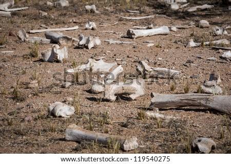 Scattered dry cow bones on Arizona dessert floor. - stock photo