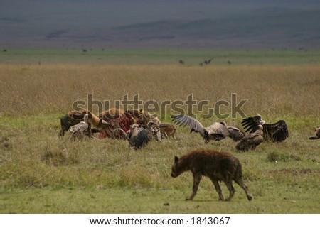 Scavengers at the Kill, Kenya - stock photo