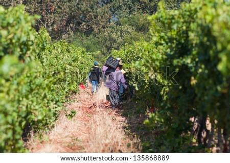 Scene from the harvest season in a vineyard in stellenbosch, South Africa - stock photo