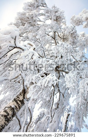 Scene in the cold winter forest. Winter tree covered with snow. - stock photo