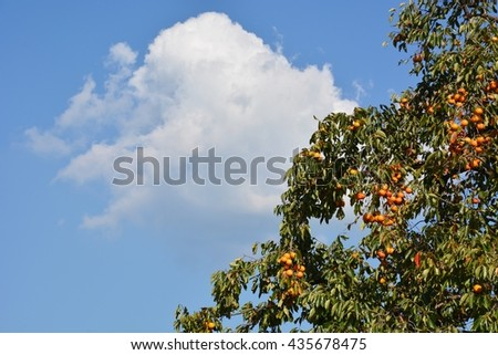Scenery of a blue sky and the persimmon farm of excellent production center Japan Asakura-shi, Fukuoka of the persimmon - stock photo