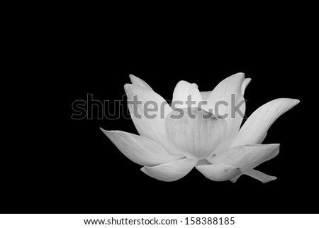 Scenery of lotus flower in the farm in black and white tone. - stock photo