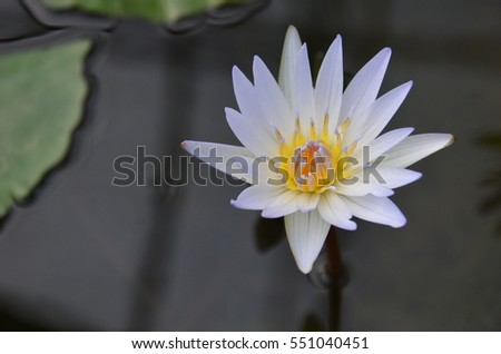 Scenery portrait of the flower of lotus and water lily