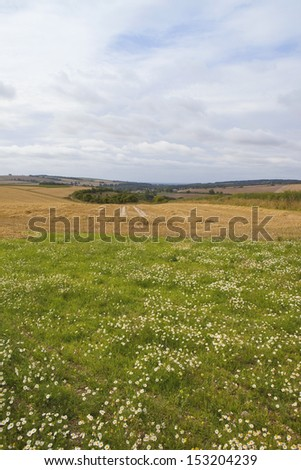 scenic agricultural landscape with hills and hedgerows and corn chamomile in the foreground under a blue cloudy sky in late summer - stock photo
