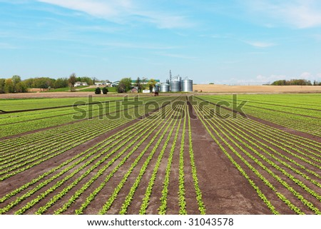 Scenic farm with radish rows on the field