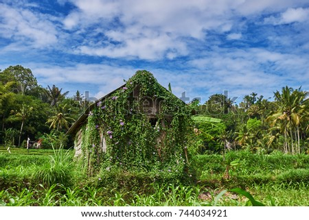 Scenic farmland green rice fields of rural, with abandoned old hut. Rice cultivation. Balinese landscapes.  Rice farming. Concept of travel.