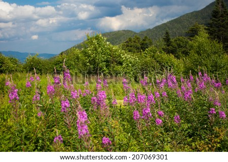 Scenic flowers in the White Mountains New Hampshire - stock photo