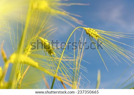 Scenic landscape with ears of barley against the sky in the sunlight in gold tones - stock photo