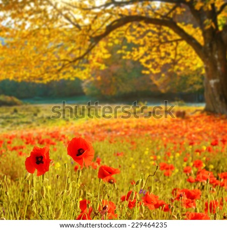 Scenic landscape with poppies flowers and trees with yellow leaves - stock photo