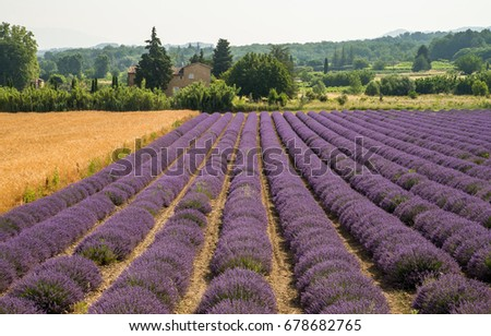 Scenic lavender field in Provence, France during summer time