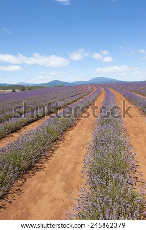 Scenic meadow of purple herbal lavender plant flowers in long rows on agriculture farm in countryside Tasmania, Australia, with mountain landscape on horizon, blue sky, copy space. - stock photo