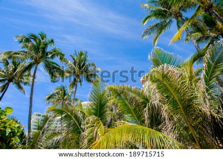 Scenic Miami Beach on a sunny day with tall coconut palm trees.