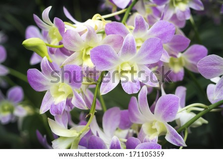 scenic orchids from National Orchid Garden of Singapore with focus on front central flowers - stock photo