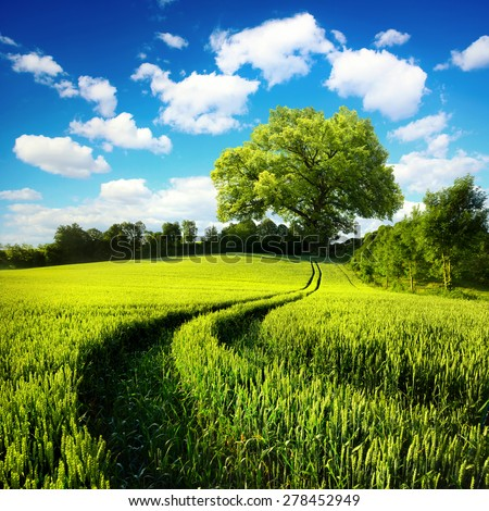 Scenic rural landscape with a green wheat field and tracks leading to a huge tree, with blue sky and white clouds in the background - stock photo