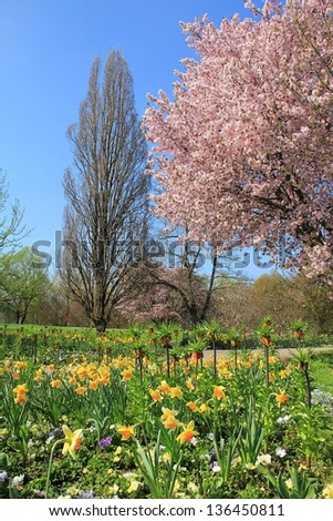 scenic springtime landscape with flourishing cherry tree and narcissus flower bed
