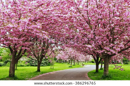 Scenic Springtime View of a Winding Garden Path Lined by Beautiful Cherry Trees in Blossom