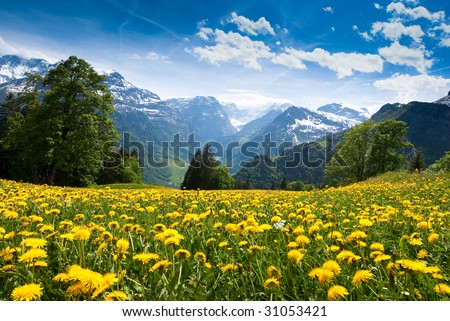 Scenic view from Braunwald (Switzerland) with blossoming field of dandelions in spring. - stock photo