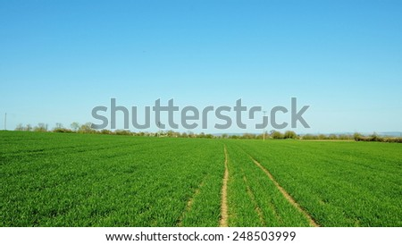 Scenic View Lush Green Crops Growing in a Field against a Clear Blue Sky - stock photo