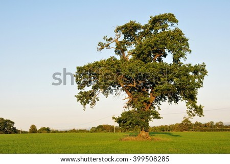 Scenic View of a Beautiful Old Oak Tree in a Green Field Bathed in Warm Evening Sunlight  - stock photo