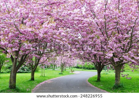 Scenic View of a Winding Path Lined by Beautiful Cherry Trees in Blossom in a Garden during Springtime - stock photo