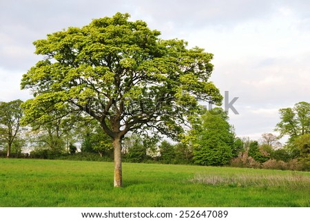 Scenic View of a Young Oak Tree in a Green Field - stock photo