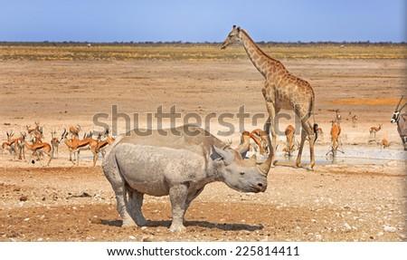 Scenic view of Giraffe, Black Rhino, Gemsbok Oryx and Springbok around a waterhole in Etosha National Park - stock photo