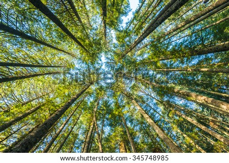 scenic view of very big and tall tree in the forest in the morning - stock photo