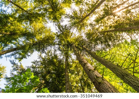 scenic view of very big and tall tree with sun light in the forest  when looking up. - stock photo