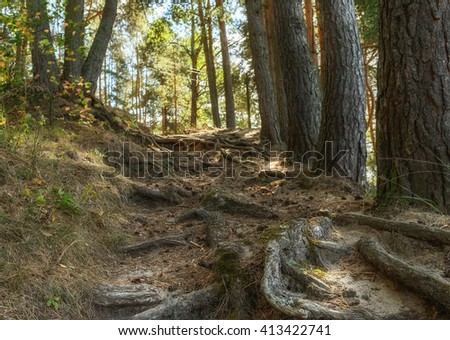 Scenic view on the roots of pine trees on the hillside in the summer