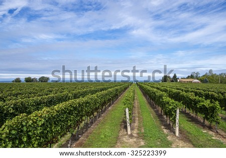 Scenic Vineyard by Lake Ontario - stock photo