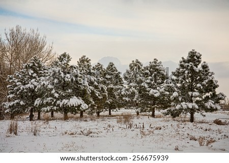 Scenic winter season landscape of fresh fallen snow on a small forest of pine trees.  - stock photo