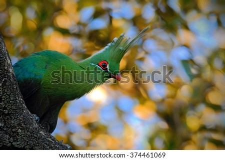Schalow's Turaco, Tauraco schalowi, detail portrait of exotic green bird in the leaves with sun light, animal in the nature habitat, Victoria Falls, Zambezi River, Zimbabwe - stock photo
