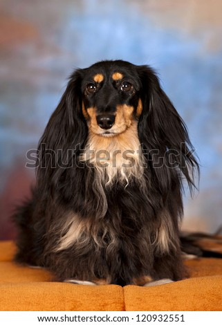Schatzi the long-haired dachshund
