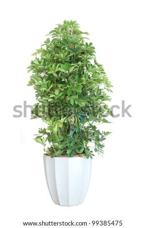 Schefflera arboricola house plant in flower pot - stock photo