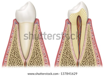 Schematic illustration of healthy tooth - stock photo