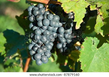 Schilcher grapes which grow in the south of Styria, Austria - stock photo