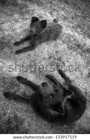 Schipperke sheperd dogs lying in the dry grass, black&white - stock photo