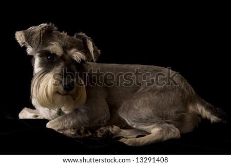 Schnauzer Dog - stock photo