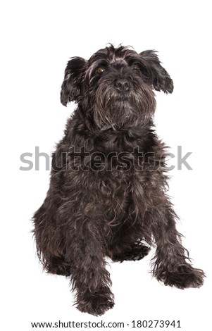 schnauzer dog breed with pedigree in black