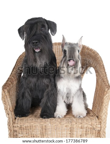Schnauzer in a chair on a white background in studio