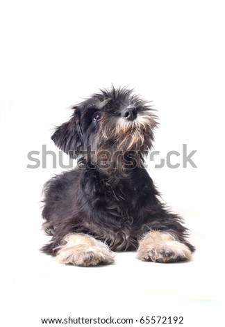 schnauzer puppy looking curious - stock photo