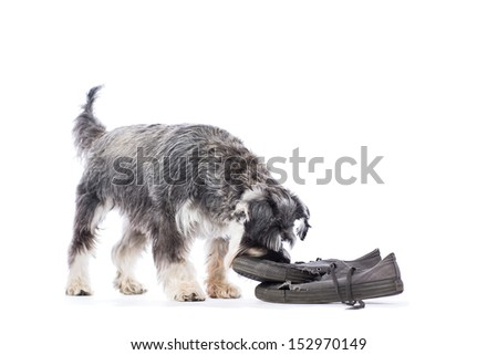 Schnauzer standing and chewing a pair of old shoes left on the floor as a toy, isolated on white with copyspace - stock photo