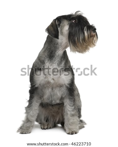 Schnauzer, 2 years old, sitting in front of white background - stock photo