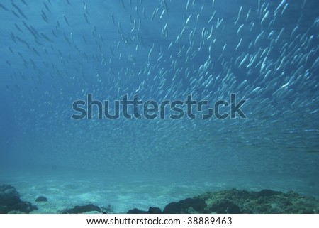 school of anchovy - stock photo